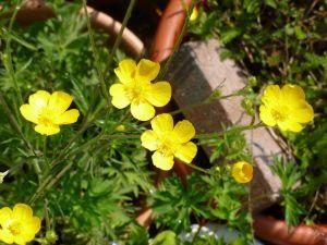Garden Buttercups