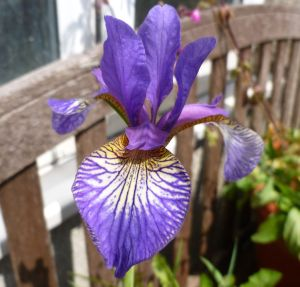 Garden Iris 1