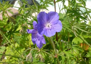 Garden Orion Geranium
