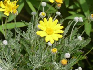 Garden Yellow Daisy