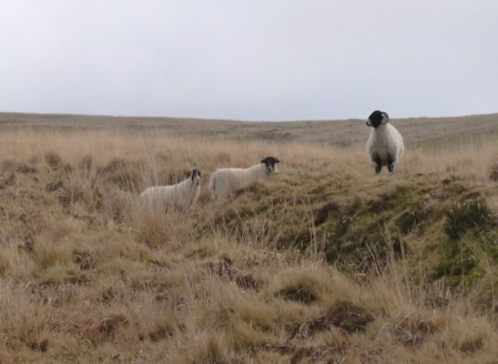 meavy-sheep